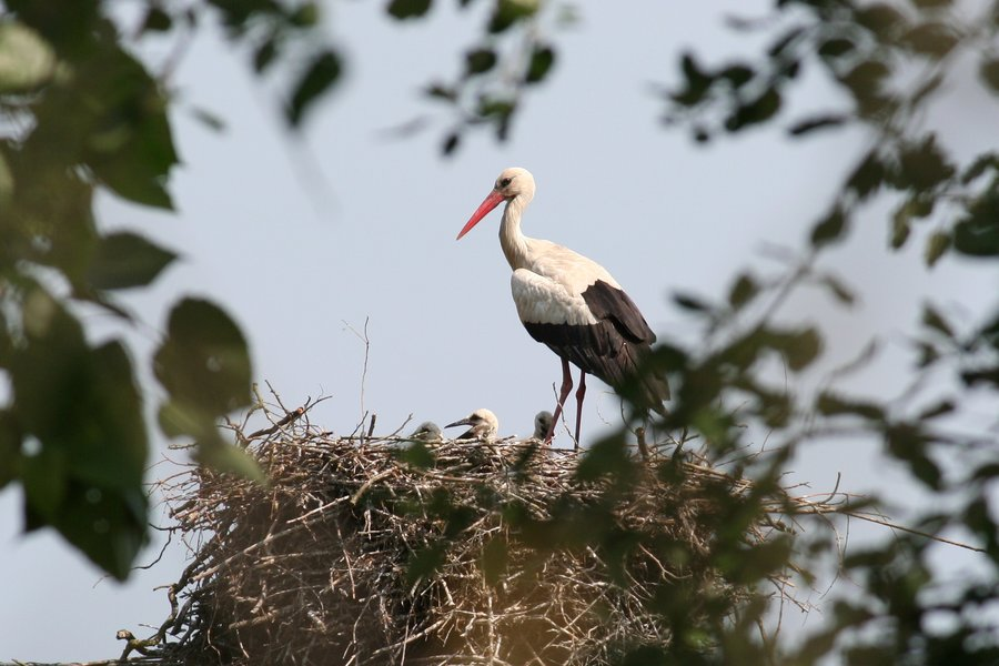 Попис на штркови: Во Македонија има 817 гнезда на штркови