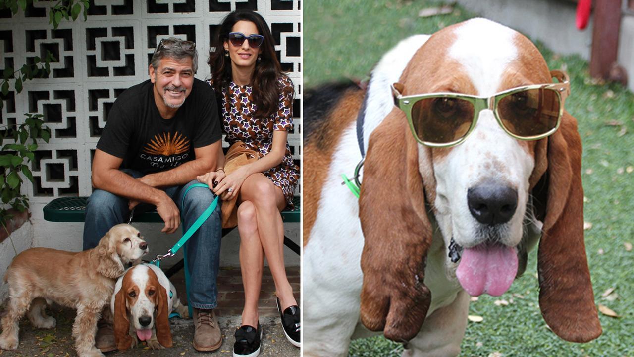 Џорџ и Амал Клуни згрижија куче од засолниште