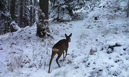 Срна се прошета на првиот снег на Пелистер (ФОТО)
